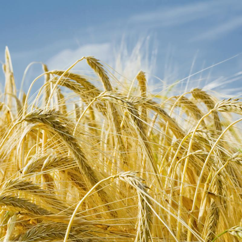 Barley malt is an ingredient used in brewing