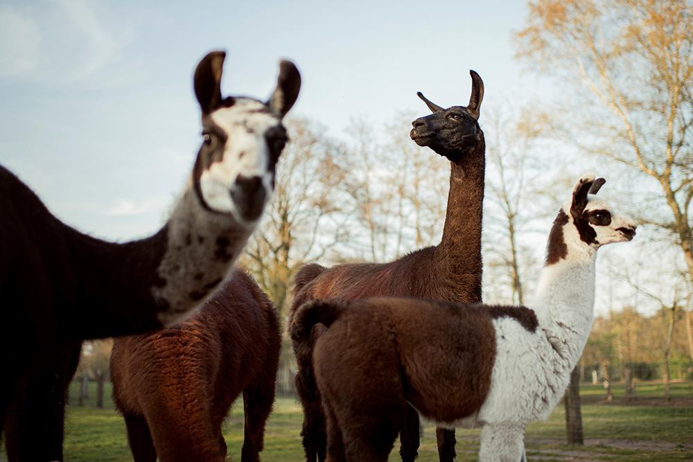 Biotalys (Flanders) creates llama-based ecologic pesticide